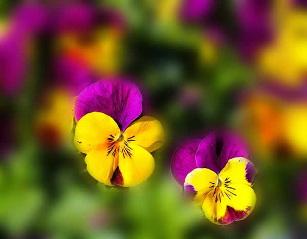 pensées fleurs du printemps